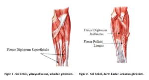 bilek kasları anatomisi