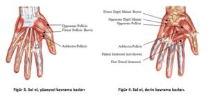 el kasları anatomisi