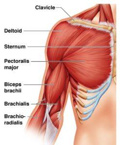 kol kası anatomisi