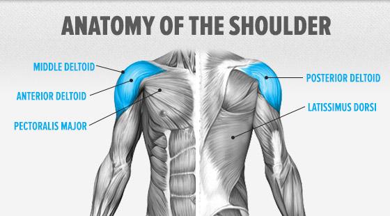omuz kası anatomisi