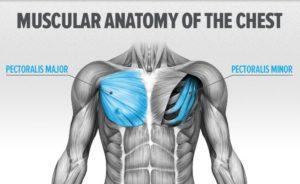 göğüs kası anatomisi