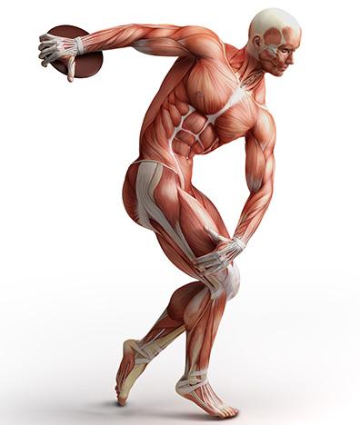 kaslar myofibrillerden oluşur