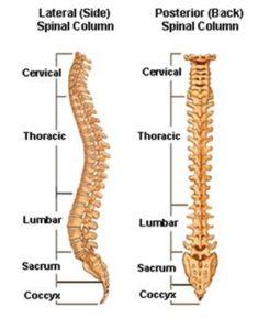 omurga anatomisi