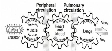 kas dolaşım ve solunum sistemi ilişkisi