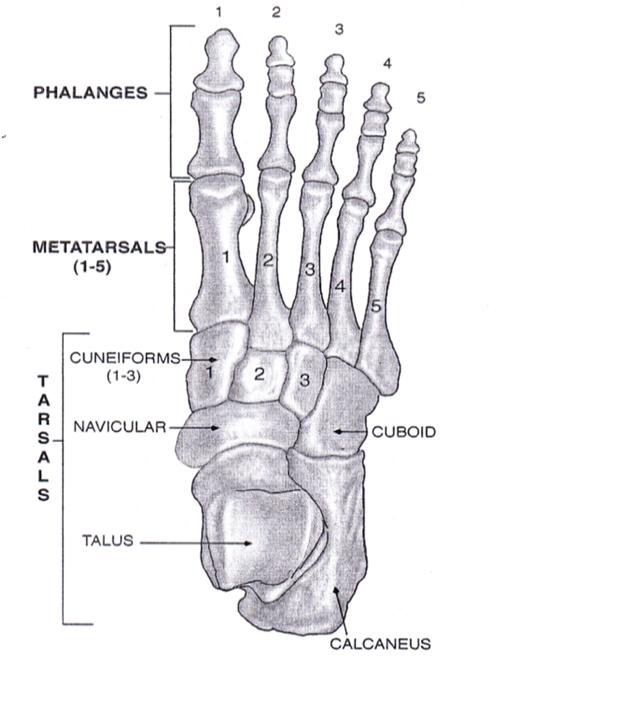 ayak anatomisi