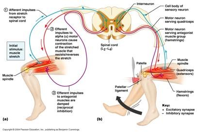 Propriyosepsiyon sistemi anatomisi